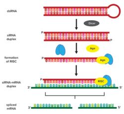 siRNA – RNA / BOC Sciences